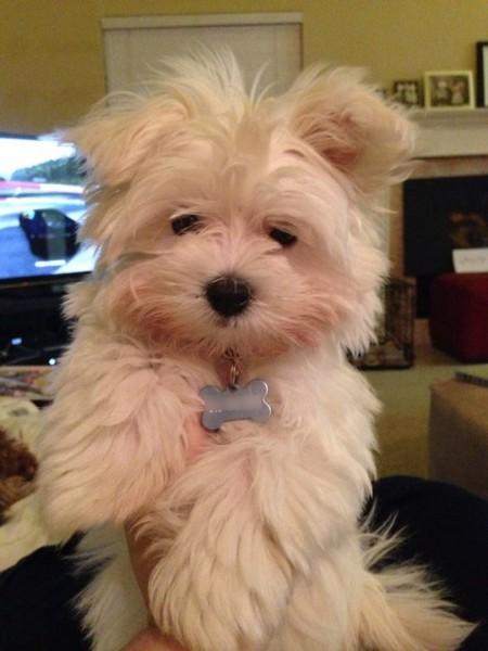 Oliver, Dog, Maltese